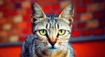 cat in front of red brick wall