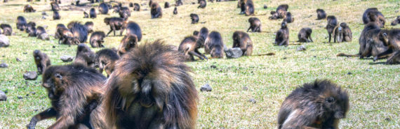 field of baboons