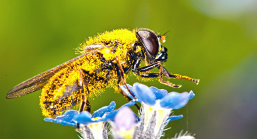 macro of insect covered in pollen