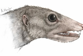 """""""When you look at the entirety of the Haramiyavia jaw and its primitive features, it's clear that this group sat at the very base of the mammalian family tree,"""" says Neil Shubin.  (Credit: University of Chicago Medicine and Biological Sciences)"""