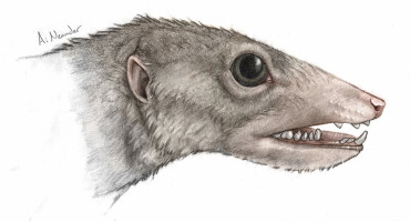 """When you look at the entirety of the Haramiyavia jaw and its primitive features, it's clear that this group sat at the very base of the mammalian family tree,"" says Neil Shubin.  (Credit: University of Chicago Medicine and Biological Sciences)"
