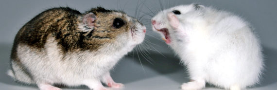 female hamster gets aggressive