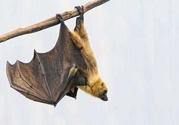 hanging fruit bat