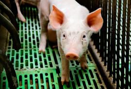 pig in crate