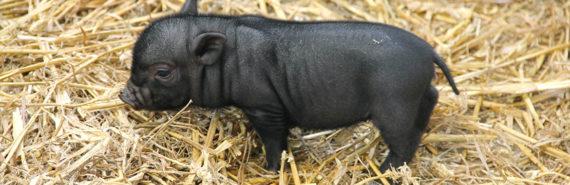 tiny piglet