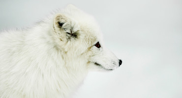 white arctic fox in snow