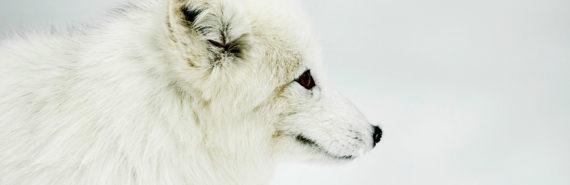white arctic fox in snow