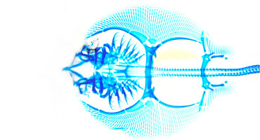 batoid skeleton in blue