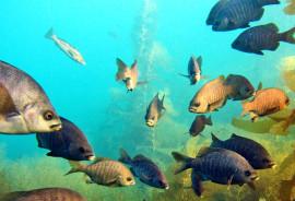 black surfperch fish