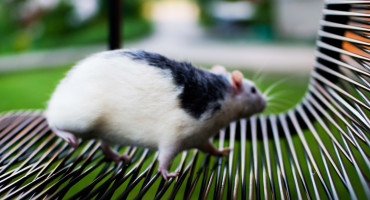fat rat on park bench