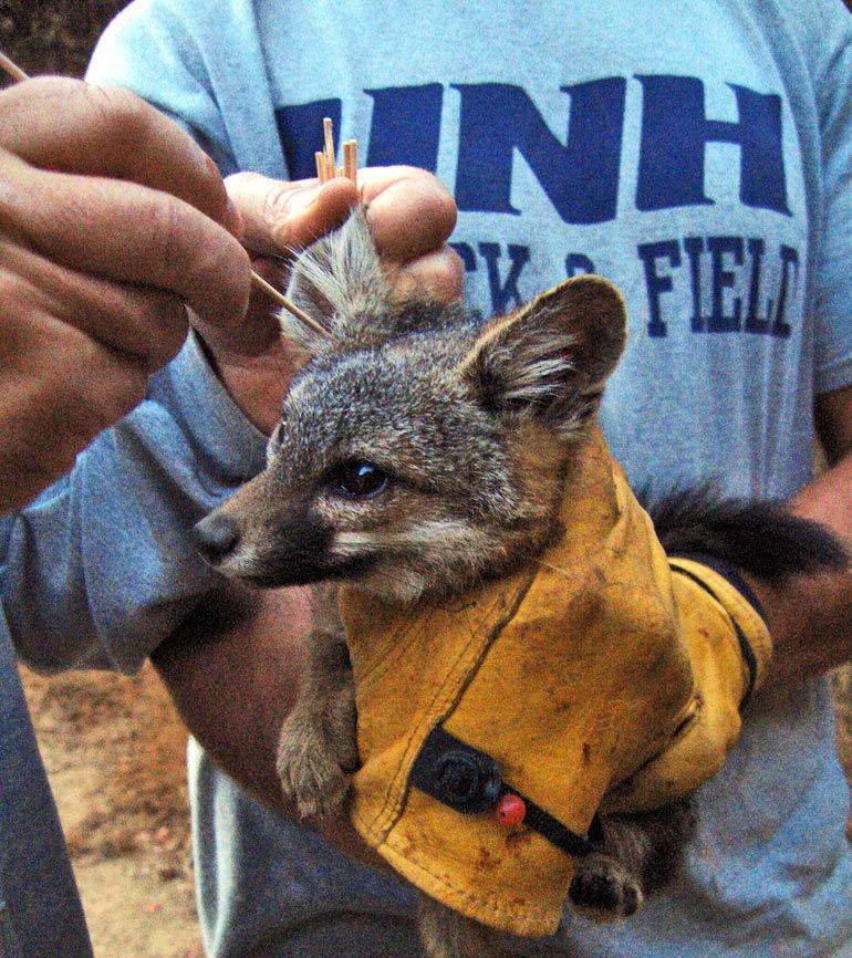 swabbing a fox ear