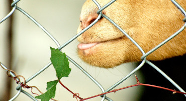 goat eats grapevine through fence