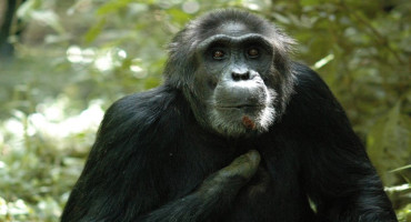 injured chimpanzee