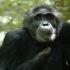 injured chimpanzee