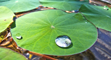 water on a lotus leaf