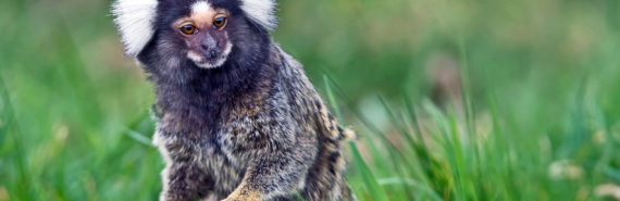 marmoset listens in grass