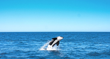 diving killer whale