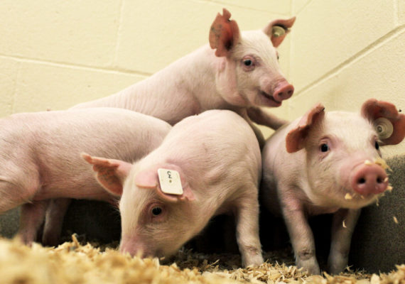 pigs that don't get PRRS virus