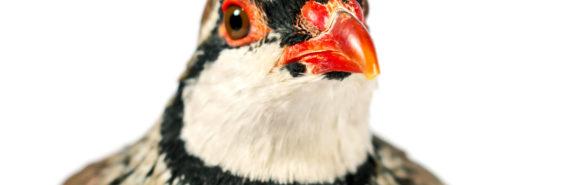 red-legged partridge portrait