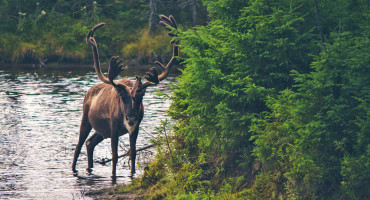 reindeer in forest river