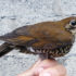The new bird is named Himalayan forest thrush Zoothera salimalii. The scientific name honors the Indian ornithologist Sálim Ali. (Credit: Per Alstrom)