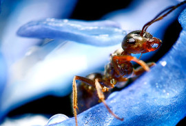 """""""The results suggest that behavioral malleability in ants, and likely other animals, may be regulated in an epigenetic manner via histone modification,"""" says Daniel F. Simola. (Credit: iStockphoto)"""