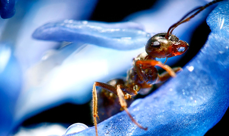"""The results suggest that behavioral malleability in ants, and likely other animals, may be regulated in an epigenetic manner via histone modification,"" says Daniel F. Simola. (Credit: iStockphoto)"