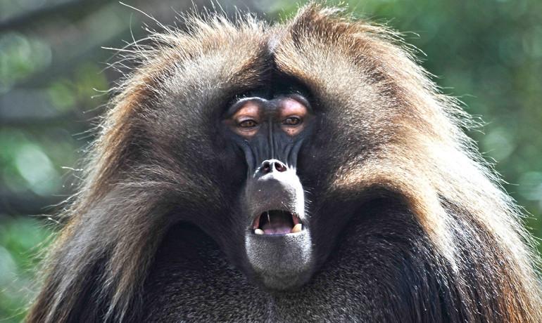 male gelada monkey