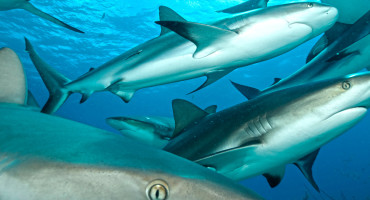 Researchers say in certain hotspots of shark activity it may be necessary to introduce catch quotas or size limits to prevent overfishing. (Credit: iStockphoto)