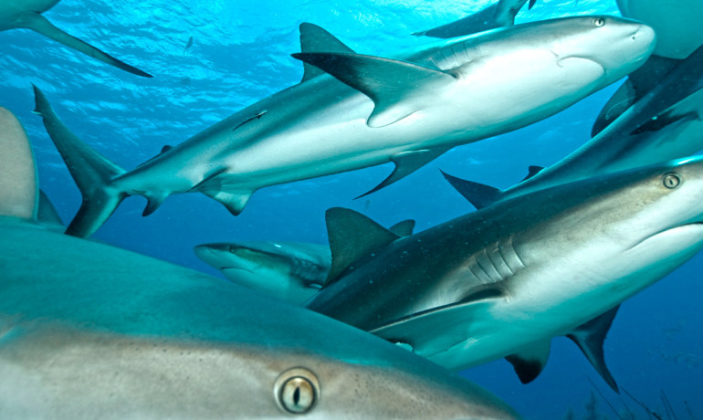 Researchers say in certain hotspots of shark activity it may be necessary to introduce catch quotas or size limits to preventoverfishing. (Credit: iStockphoto)