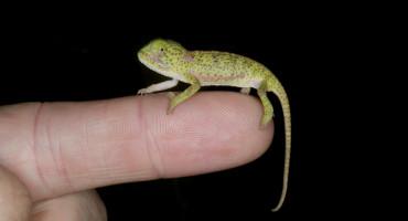 chameleon on a finger tip