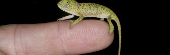 chameleon on a finger tip