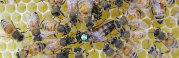 worker bees groom the queen