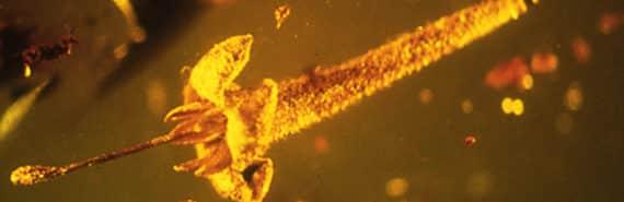 Strychnos electri in amber