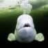 beluga whale underwater