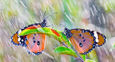 butterflies in the rain