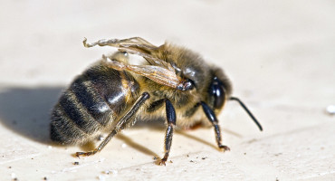 bee with deformed wing virus