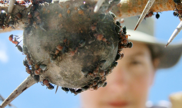 Crematogaster mimosae