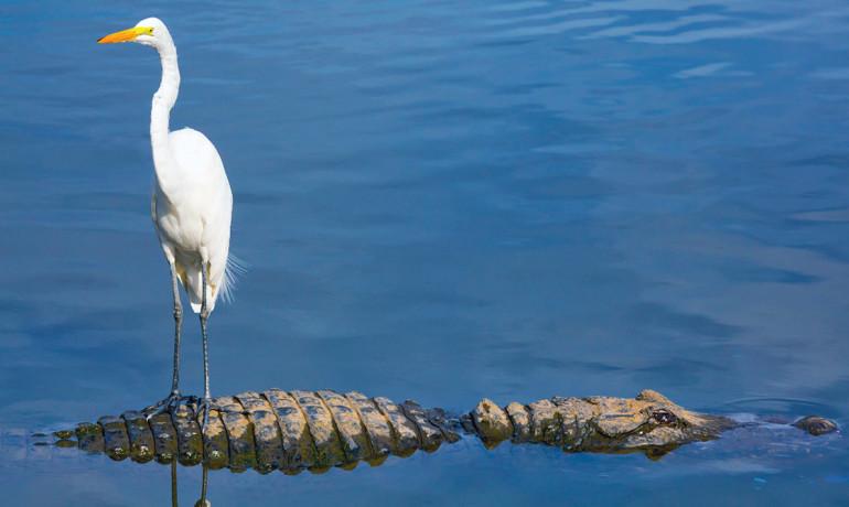 bird on alligator's back