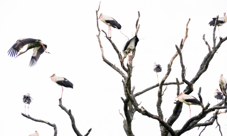 storks in a tree