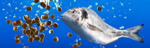 farm-raised fish eating feed