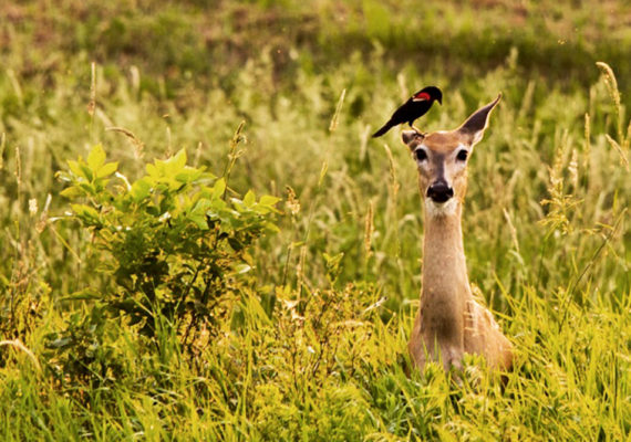 red-winged blackbird on white-tailed deer