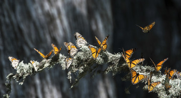 monarch butterflies