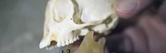 fossil monkey teeth