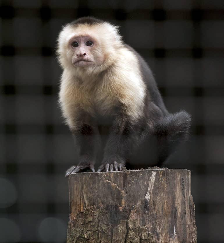 organ grinder monkey