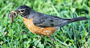 American Robin eats earthworms