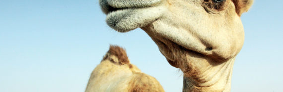camel or dromedary