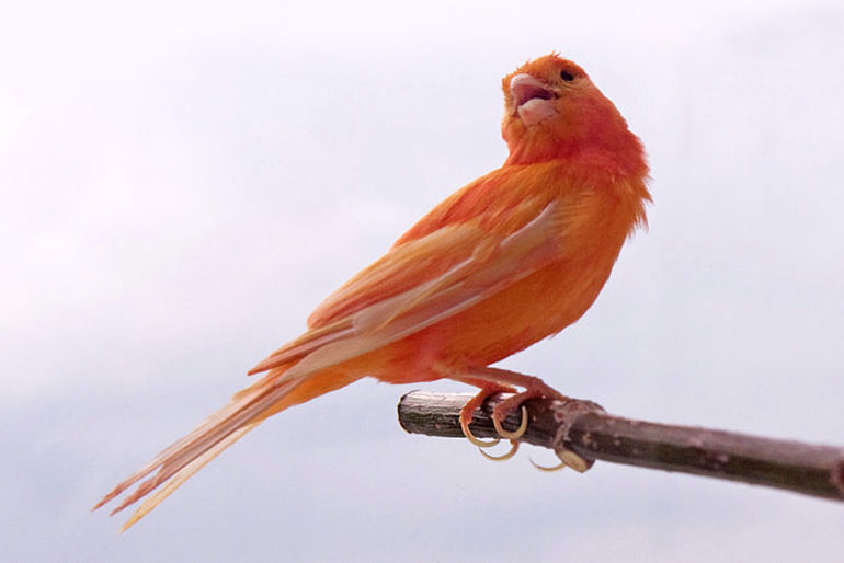 red factory canary