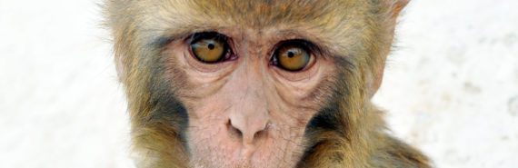 closeup of a Rhesus Macaque