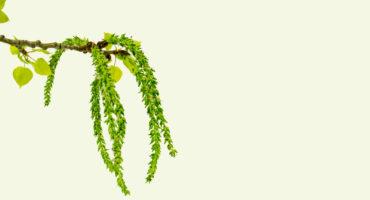 poplar tree catkins